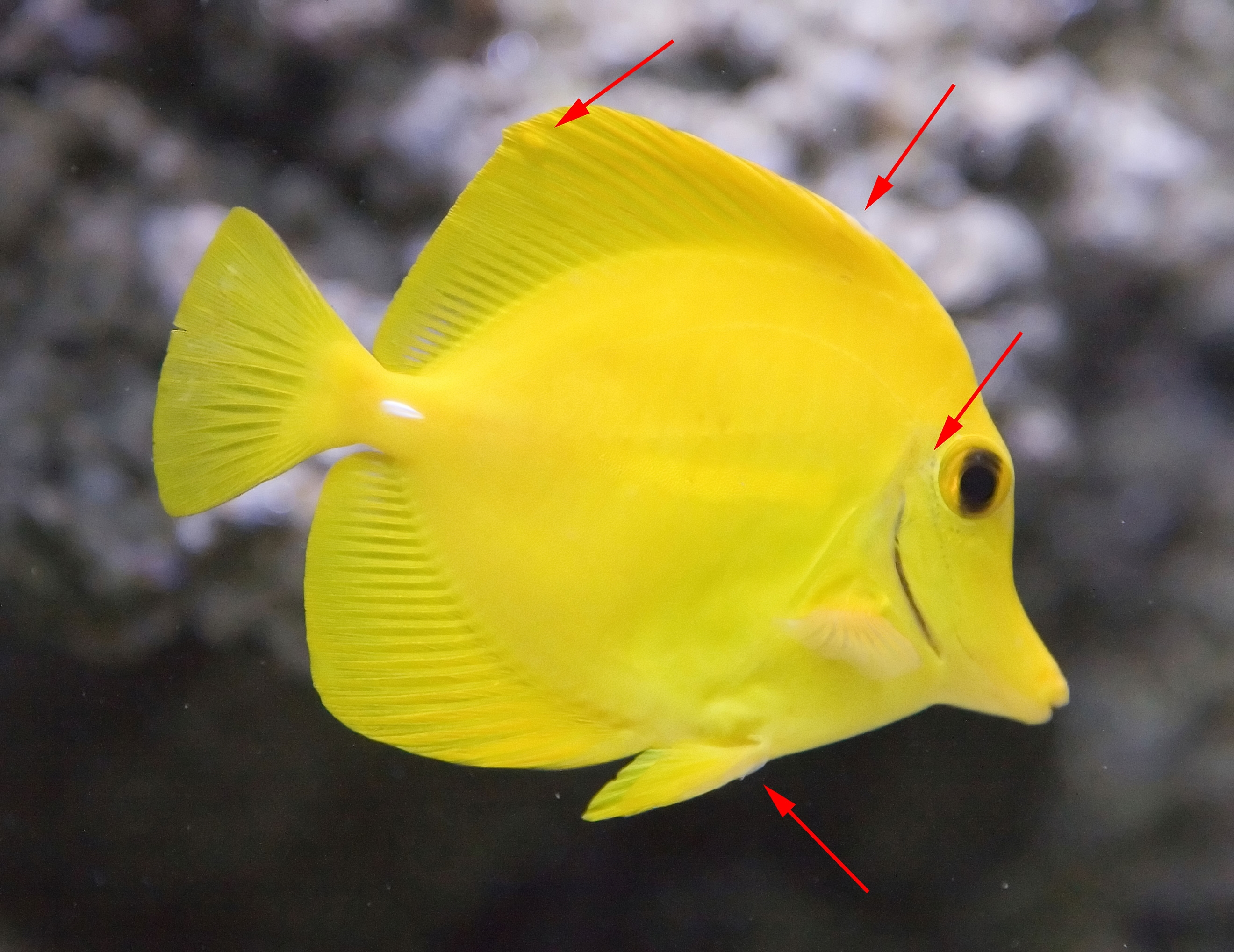 Is my yellow tang healty pics inside reef central for Yellow tang fish