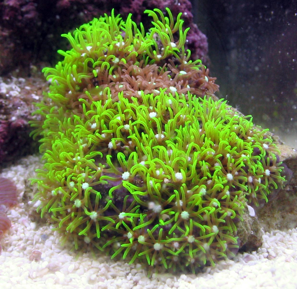 green star polyp green star polyps lab background information