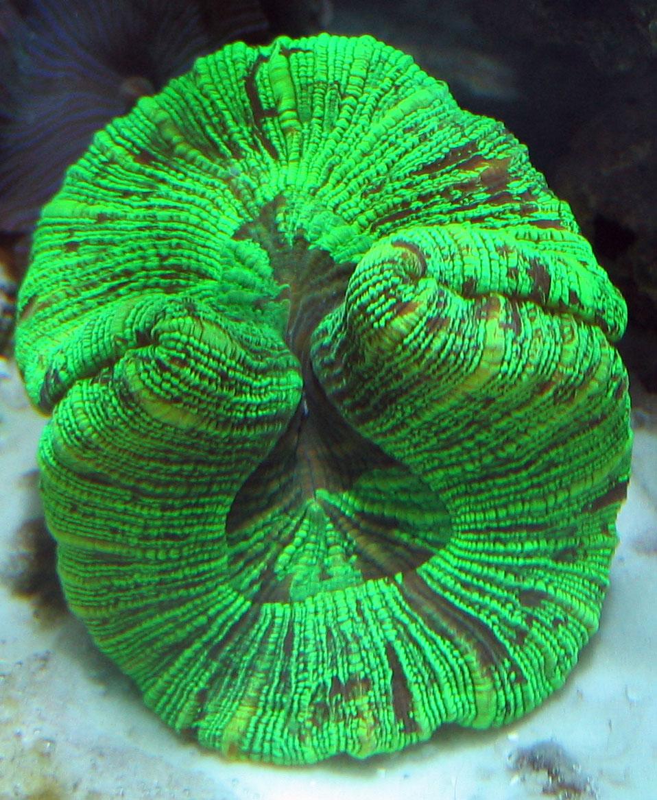 Large Polyp Stony Corals LPS   Tyler Merrick