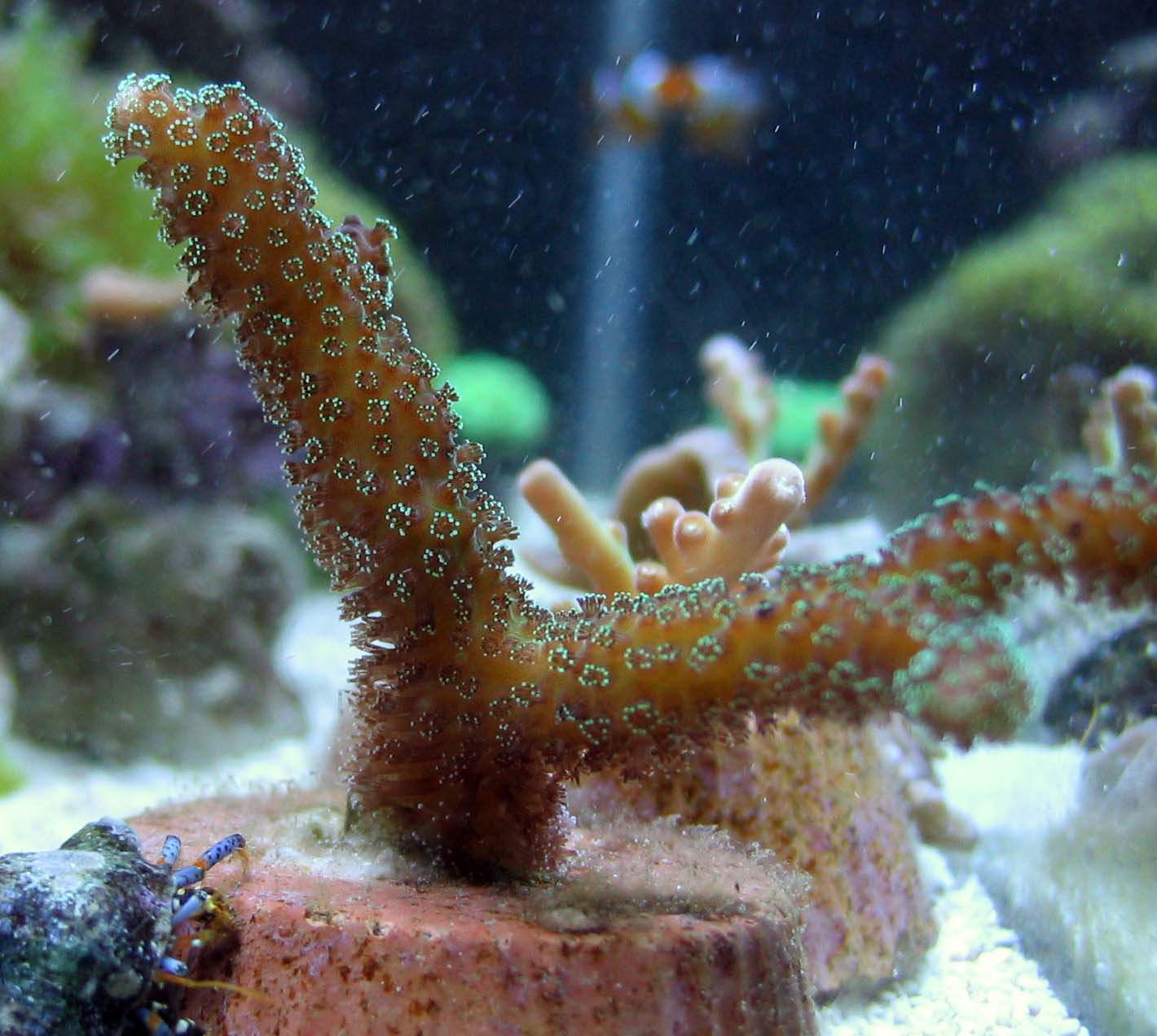 Saltwater Information - Small Polyp Stony (SPS) Corals