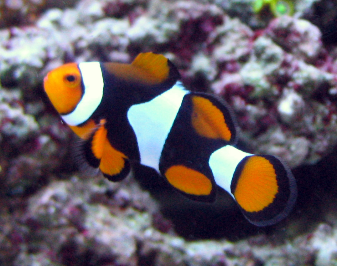 Picasso clownfish wallpaper for Clown fish for sale
